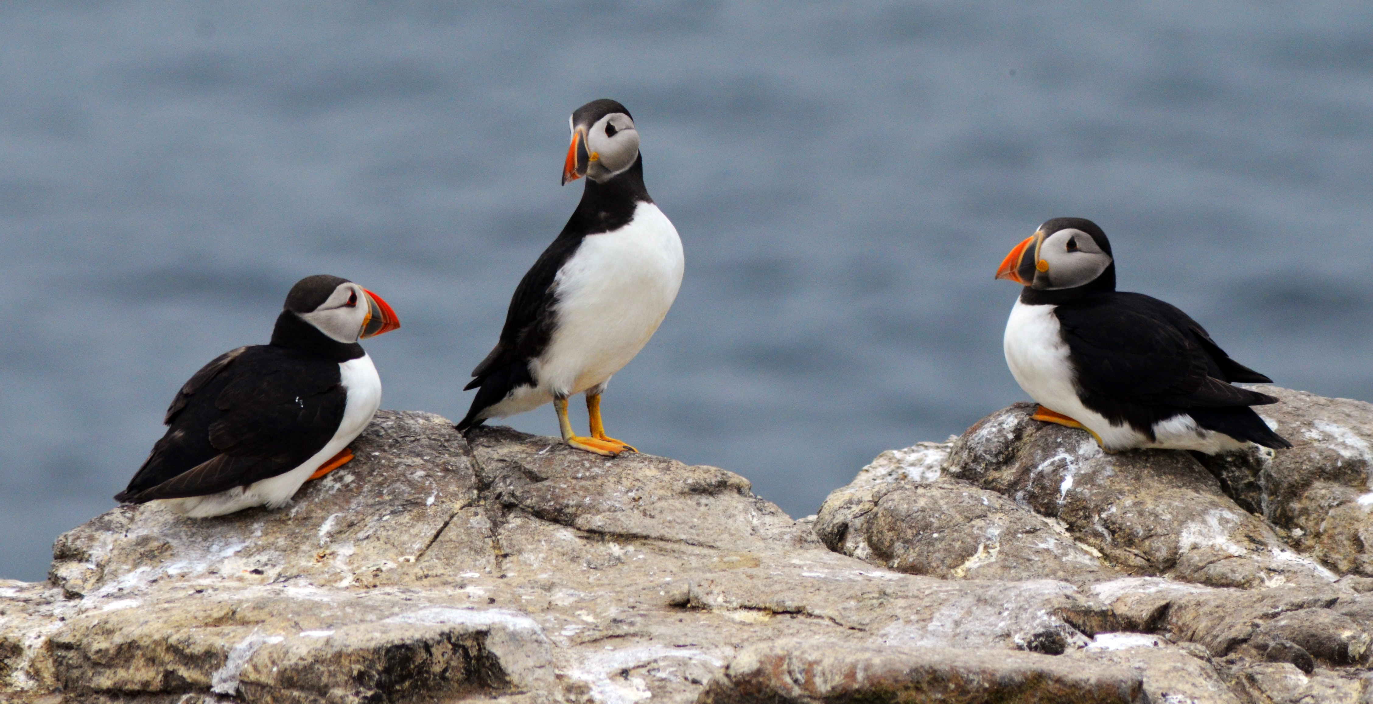 Puffins looking like they're talking to each other