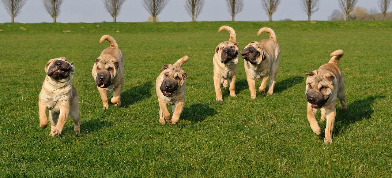 Curious looking Shar-Pei pups